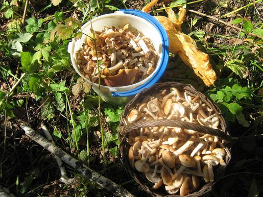 Сбор грибов - как собирать грибы